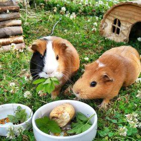 What Can Guinea Pigs Eat and Not Eat?
