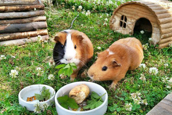 What Can Guinea Pigs Eat, The Best Guinea Pig Food, Guinea Pig Treats, guinea pig food