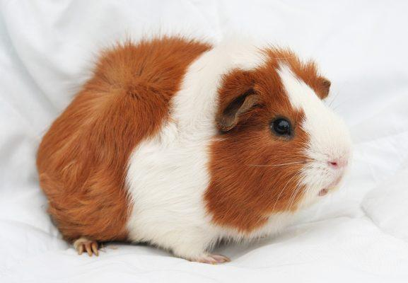 Do Guinea Pigs smell?