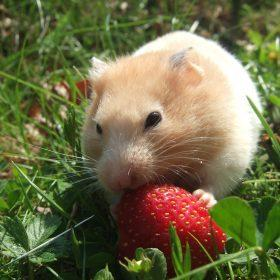 Which Hamster Breeds are Perfect for You to Keep at Home?