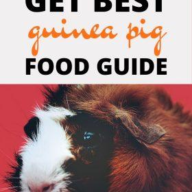 how to provide proper guinea pig care to our pet guinea pig.