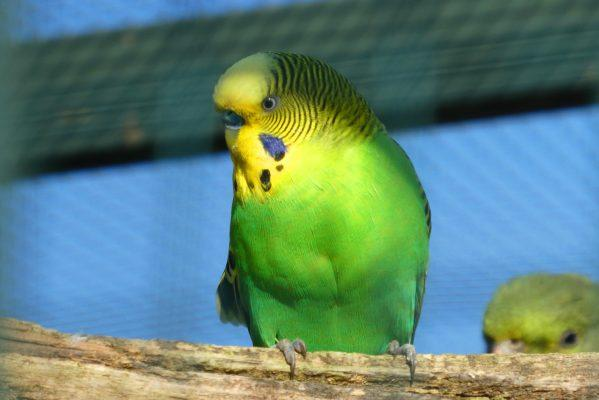 how long do parakeets live, how long do parakeets live in captivity