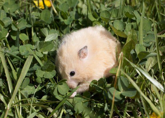 where do hamsters live outside of pet stores, where do hamsters live in the wilderness, where do hamsters come from, wild hamsters, what do hamsters eat