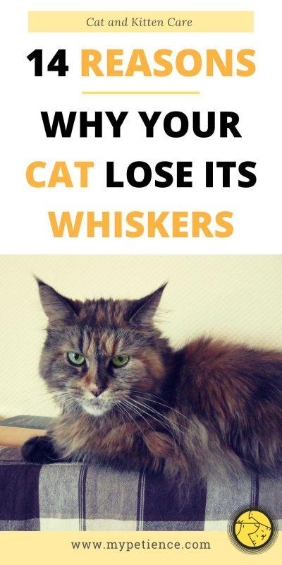 Do cat whiskers grow back again if pulled out or burned? You will find the answer in this article as this is an important part for cat and kitten care.