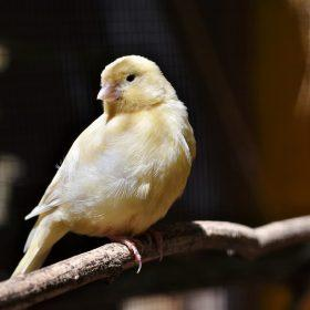 A Useful Guide to Keep a Pet Canary in Your House