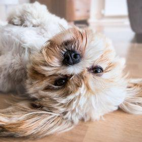 Do Dogs Go Through Menopause? - Dog Health Tips