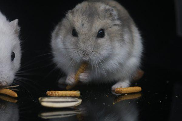 Best hamster food, What can hamsters eat, Can hamsters eat cheese, Can hamsters eat grapes