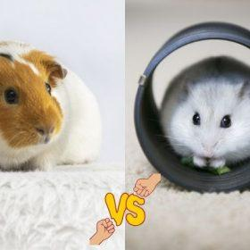 Guinea Pig vs Hamster - Which One Is Right for You?