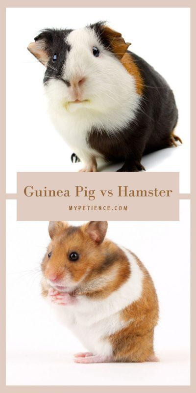 guinea pigs and hamsters are adorable pets, but let us discover which one is a good and suitable first pet to have.