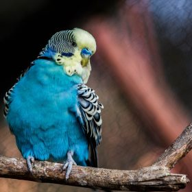 Do Parakeets Talk? - Train a Parakeet to Talk