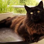The Black Maine Coon - 10 Interesting Facts You Don't Know